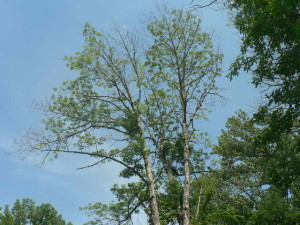 ash tree dying after attack by emerald ash borer