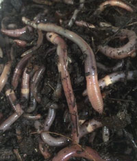 worms1